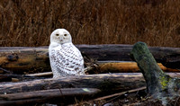 Snowy Owls @ Boundary Bay,BC