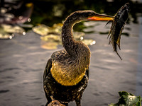 Anhinga & Fish @ The Anhinga Trail